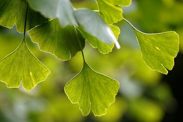 نبات الجنكة